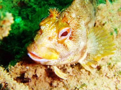 blenny closeup784 newhaven june 2009